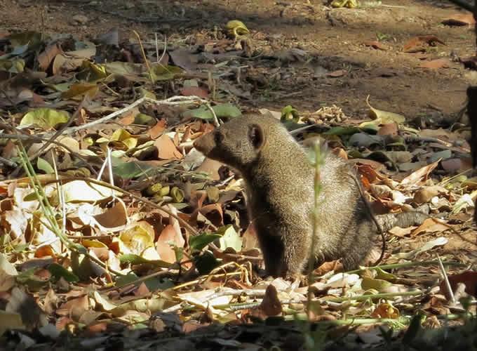 Mangusto, um dos animais avistados no acampamento Berg en Dal em Kruger